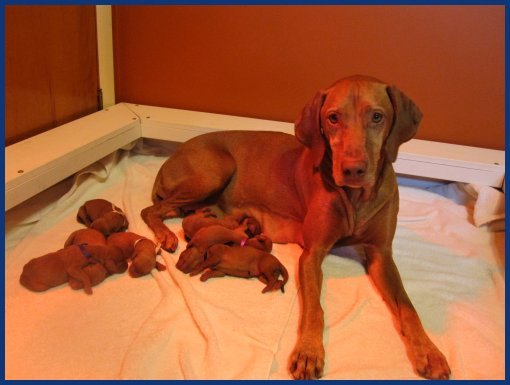 Vizsla with her litter